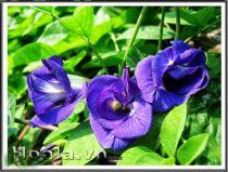 Hoa đậu biếc tím xinh ngọt ngào