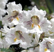 Hoa Catapla duyên dáng