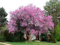 Cây hoa hạnh phúc trang trí sân vườn tuyệt đẹp