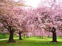 Hoa anh đào Nhật Bản cánh kép Yaezakura ( Yae–Sakura)