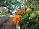Trồng cà chua bi trên sân thượng