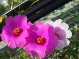 Ngọt tím sắc hoa mười giờ