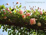 Hoa hồng leo - video
