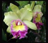 Hoa lan Cattlaya - nữ hoàng các loài hoa