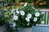 Hoa Bông bụp Nhật