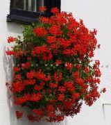 Hoa leo rủ ban công đặc sắc