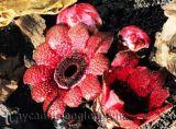 Phát hiện hoa lạ mọc từ rễ cực hiếm ở rừng Đà Lạt
