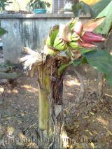 Xem cây chuối kỳ lạ ra hoa