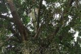 Kỳ lạ cây dừa mọc từ ngọn đa