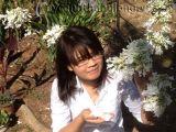 Cây phượng duy nhất tại Việt Nam nở hoa lạ
