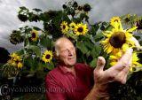 Cây hướng dương  lạ nở 104 bông hoa