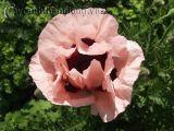 Hoa Poppy - Hoa lạ biểu trưng của nước Bỉ