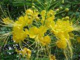 Lạ mắt Phượng vàng nở hoa ở Huế