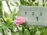 Lạ nhé : Hoa hồng có đường kính... 1cm