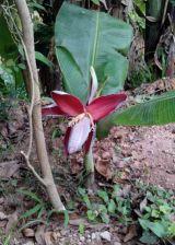 Kì lạ Cây chuối tí hon trổ hoa ở Quảng Trị