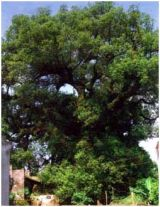 Phát hiện cây dã hương cổ thụ tại Nam Định