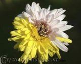 Hoa lạ :Cúc hai màu
