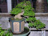 Cách trồng Bonsai trên sân thượng