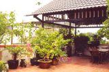Nên trồng loại cây bonsai nào trên sân thượng?