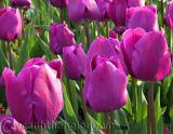 Vì sao hoa biết mùa xuân đến