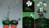 Kỳ lạ hồi sinh cây hoa đóng băng 30.000 năm