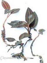 Phát hiện loài lan kim tuyến lạ và quý hiếm tại Quảng Trị