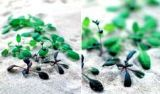 Kỳ lạ loại cỏ phát hiện mìn