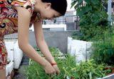 Nhà nhà trồng rau sạch trên sân thượng