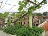 Vườn rau trên mái ông nội trồng