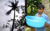 Kỳ lạ cây dừa ...biết khóc