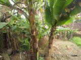 Kỳ lạ cây chuối trổ buồng giữa thân ở Thanh Hóa