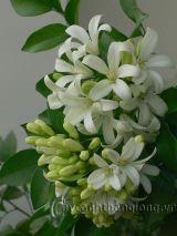 Kỹ thuật trồng cây hoa nguyệt quế