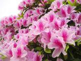 Cách trồng và chăm sóc hoa đỗ quyên