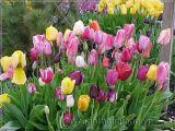 Trồng và chăm sóc hoa Tulip