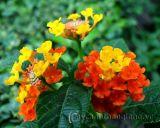 Cách trồng và chăm sóc hoa ngũ sắc