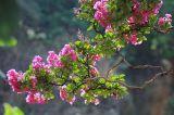 Trồng và chăm sóc hoa tường vi (tử vi)