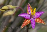Hoa lan kỳ lạ, độc đáo : Nữ hoàng Sheba