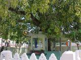 Kì diệu cây của Phật Tổ vẫn sống sau 2.500 năm