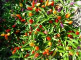 Cách trồng và chăm sóc cây ớt ngũ sắc