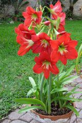 Cách để loa kèn đỏ ra nhiều hoa