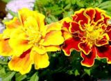 Trồng và chăm sóc hoa cúc vạn thọ Pháp