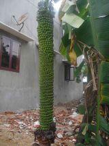 Buồng chuối 180 nải ở Bình Định