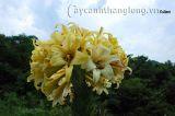 Kỳ lạ với cây hoa ly nở 56 bông