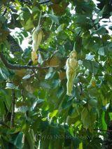 Trái cây kỳ lạ mang hình thiếu nữ khỏa thân
