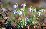 Sức sống của hoa xuyên tuyết huyền thoại