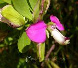 Loài hoa Viễn Chí và những điều thú vị