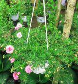Trồng và chăm sóc hoa mười giờ