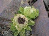Hoa Tuyết Liên - hoa lạ quý hiếm tại Himalaya