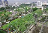 Rau sạch trên sân thượng ở Bangkok