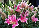 Cách trồng và chăm sóc hoa Lily trong chậu